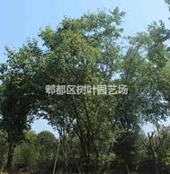 茶条槭苗圃清仓促销,腾地清仓促销茶条槭