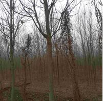 16公分楸树