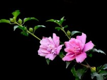 供应花卉苗木 木槿 木槿花