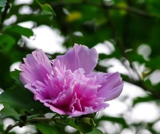 供应花卉苗木 木槿 木槿花 园林绿化苗木 灌木苗木