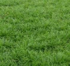 供应优良玉龙草 矮麦冬 麦冬草,及各品种草坪 阔叶麦冬