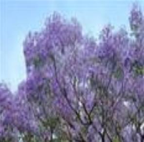 园林景光-蓝花楹5