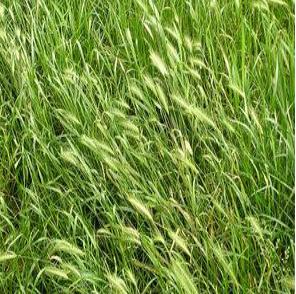 供应六安市皖江园林工程有限公司黑麦草黑麦草