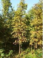出售落羽杉