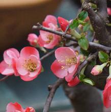 木瓜海棠花