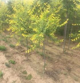 鼎盛苗圃出售中接金叶榆苗木,高接金叶榆苗,造型金叶榆苗。