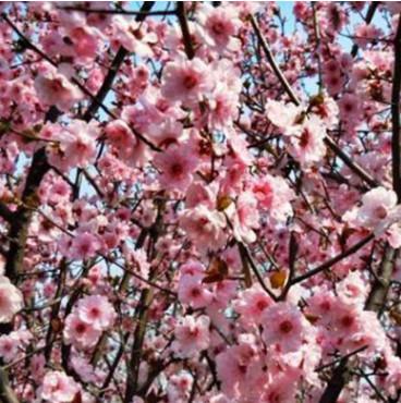 美人梅树苗出售 工程绿化苗木现场看苗 行道庭荫树美人梅