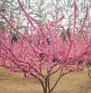 美人梅树苗出售工程绿化苗木四季优美带土球发货品种保障生长旺盛