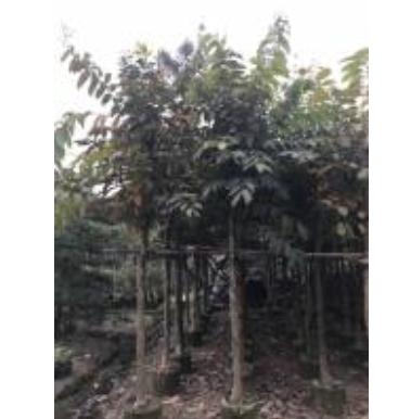 大叶紫薇永盛园艺百亩园林基地直销规格齐全低价供应