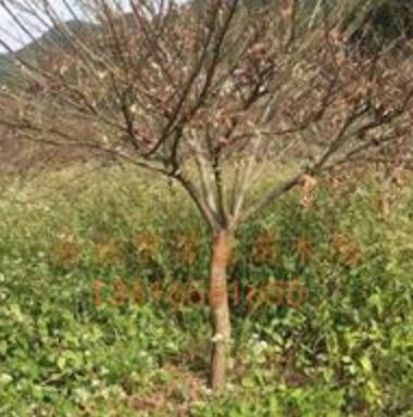 自家苗圃供应羽毛枫、青枫、五针松、红白玉兰、马褂木、桂花、