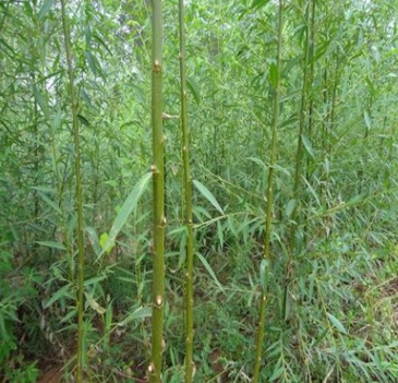 基地直销垂柳风景树竹柳 庭院桂花树苗桧柏绿化苗品种规格齐全