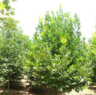 基地种植 紫玉兰园林绿化苗木 紫玉兰树苗树型优美 易成活