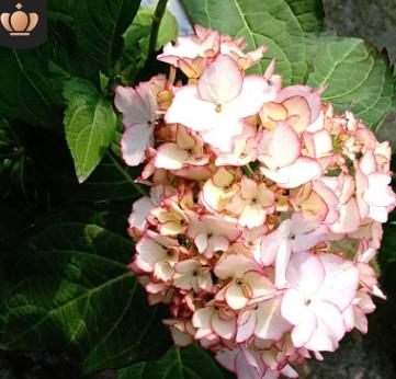 绣球花 庭院种植花卉无尽夏 绿化工程用苗八鲜花 花卉基地直销