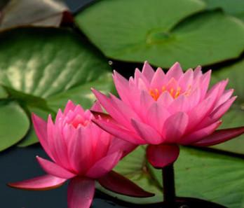 水生睡莲花鱼缸庭院池塘湿地景观带芽睡莲根块根茎