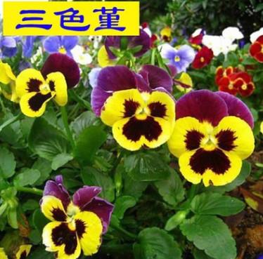 三色堇种子 景观花海盆栽阳台花卉种子 蝴蝶花种子 毛脸花种子