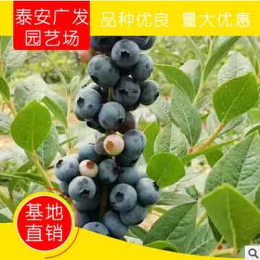 基地直销 都克蓝莓苗 树苗规格齐全 蓝莓树苗 适合南方北方种植