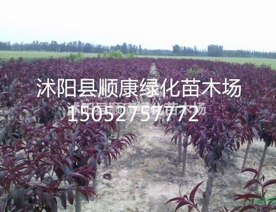 红叶碧桃价格