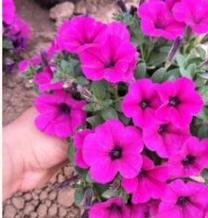 山东青州苗圃批发销售草花垂吊牵牛 品种纯正 花色艳丽 绿化专供
