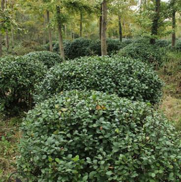 冬青球批发 园林工程绿化苗木 色块绿篱 盆栽冬青球 基地直销