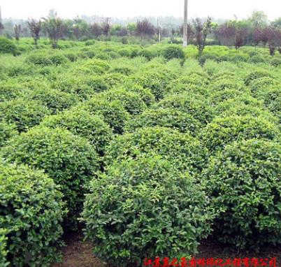 小叶黄杨球基地直销 四季青绿化灌木 篱笆墙小苗 小叶黄杨球批发