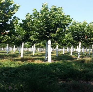 冠幅饱满法桐15公分-18公分法国梧桐树价格20公分速生法桐价格