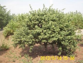 金银花大树 景观树 绿化用树