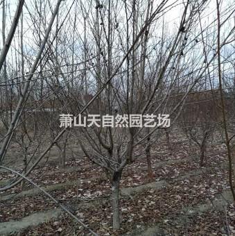 精品 碧桃 花桃 D4-12公分
