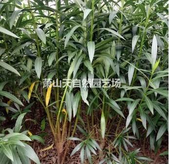 精品 夹竹桃 3-15叉 H100-2500P100-250