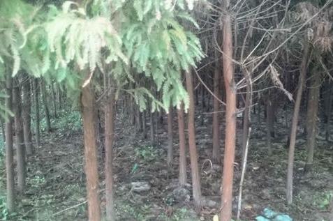 供应落羽杉