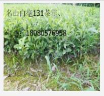雅安茶产业发展的机遇和挑战,四川茶叶苗、四川/湖北茶苗