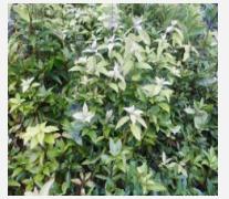 供应大量老鹰茶叶苗、【致富榜样】致富乡亲的老鹰茶