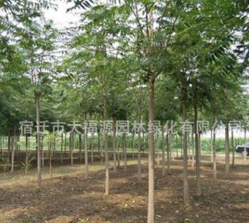 供应各种工程苗椿树 苗 基地直销 优质 臭椿规格齐全