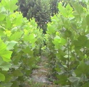 大量供应落叶性法国梧桐 法桐 速生苗工程绿化梧桐树