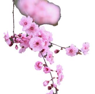 美人梅树木出售 工程绿化树木榆叶梅 庭院盆栽梅花树木嫁接 直销