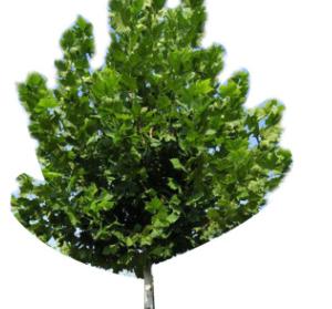 法桐树批发 绿化工程 行道树法国梧桐 庭院造景 厂家直销