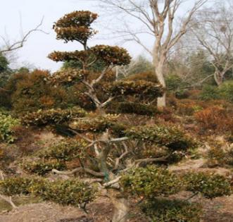 造型黄杨树 常绿性黄色系自产自销欢迎上门选货景观绿化园林工程