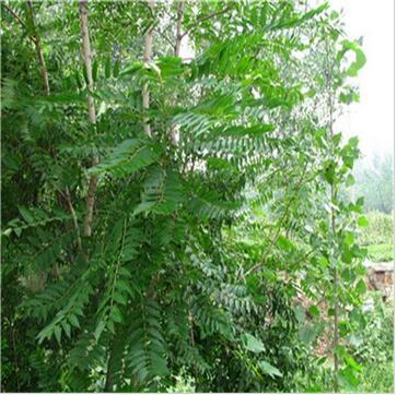 香椿 椿树 绿化行道林木苗木植物 高品质高芽率