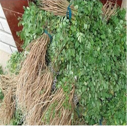 直销紫穗槐苗木 护堤绿化 林木防护用苗 苗壮易成活 量大从优