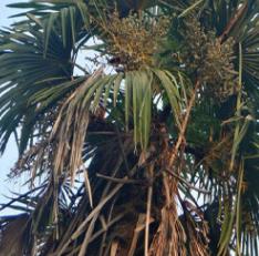 棕榈树 老人葵 箬棕 毛棕 中华棕榈 风景树热带树 常绿行道树景观