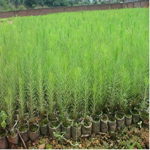 供应杉木苗木 高质量造林苗木批发