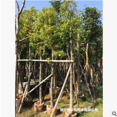 低价供应绿化苗木天竺桂(阴香)花木农户自家花场直销宠物及园艺园