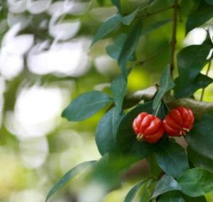 大量低价供应绿化苗木红果仔红果仔自家苗场种植销售宠物及园艺园林