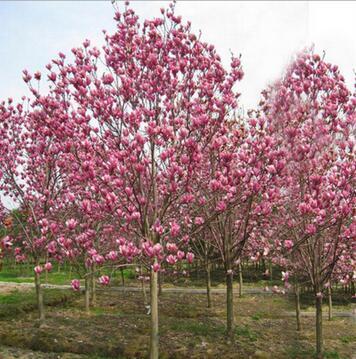 基地直销优质紫玉兰 行道树绿化苗木 玉兰树苗 红玉兰基地