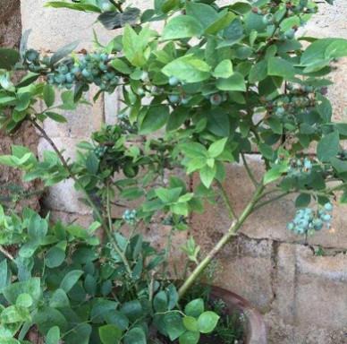 莱克西蓝莓苗丰产稳丰根系发达蓝莓苗品种纯正易管理易成活蓝莓苗