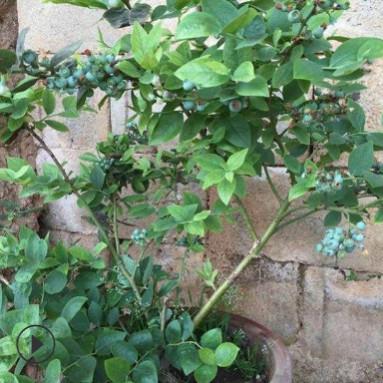 奥尼尔蓝莓苗量大优惠山东基地直销蓝莓苗香甜可口成活率高蓝莓苗