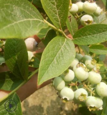 蓝莓苗可南北方种植优质蓝莓苗山东基地直销量大优惠果甜蓝莓苗