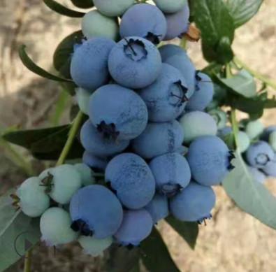 蓝莓苗量大优惠基地直销蓝莓苗香甜可口发货及时成活率高蓝莓苗