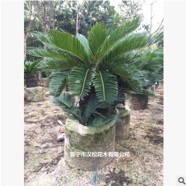 花场直销绿化苗木高度25至120cm优质苏铁量大从优宠物及园艺园林