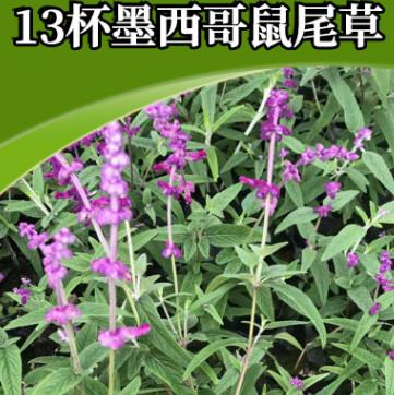 13杯墨西哥鼠尾草 芳香花卉香草阳台庭院可用 花海景观花种鼠尾草
