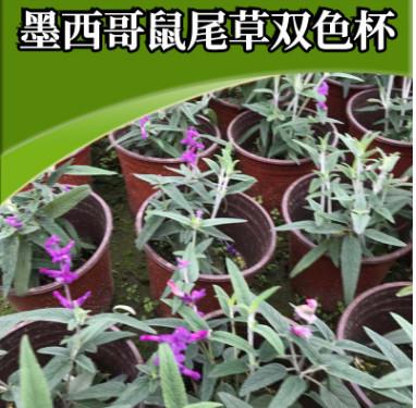 花海景观花种鼠尾草 厂家直销花卉香草庭院 墨西哥鼠尾草双色杯